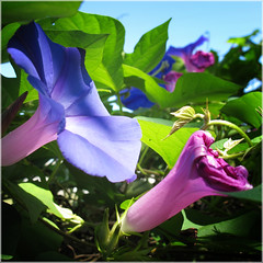 Morning glory 4