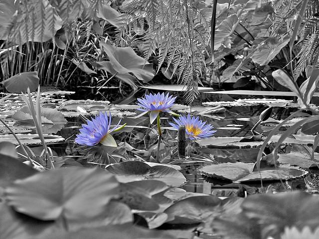 Blue water flowers color splash flickr photo sharing - Plants with blue flowers a splash of colors in the garden ...