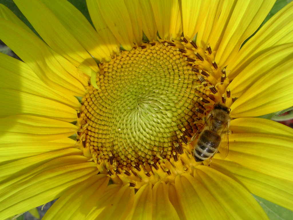 Sunflower and bee     19-24/637