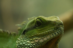 lacerta(0.0), lacertidae(0.0), animal(1.0), green lizard(1.0), reptile(1.0), organism(1.0), lizard(1.0), macro photography(1.0), green(1.0), fauna(1.0), african chameleon(1.0), close-up(1.0), dactyloidae(1.0), scaled reptile(1.0), chameleon(1.0), wildlife(1.0),