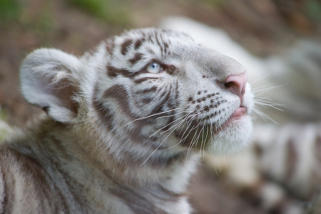 Zoo de Beauval 41, Tigre Blanc/ White Tiger