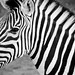 Grant's Zebra by maywong_photos