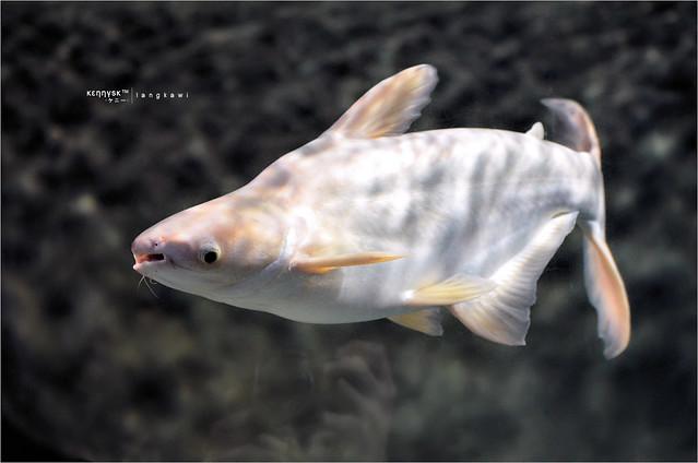 White Asian Shark Catfish [ Pangasius Sp. ] Explore ?????s ...