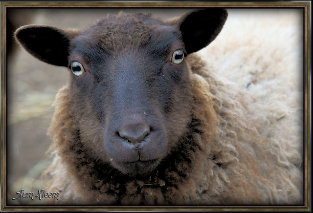 The Inquisitive Sheep