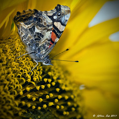 Painted Lady Butterfly feeding on Sunflower - - Potrero Hill, San Francisco