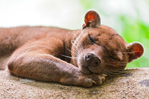 Cute sleeping fossa II