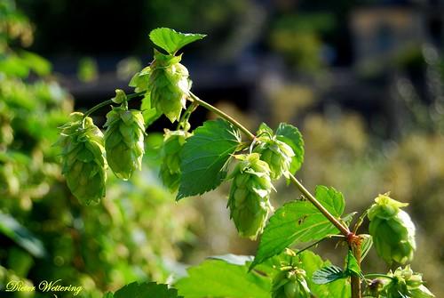 Hopfen-eine Pflanze, ohne die Bierbrauen unmöglich ist.