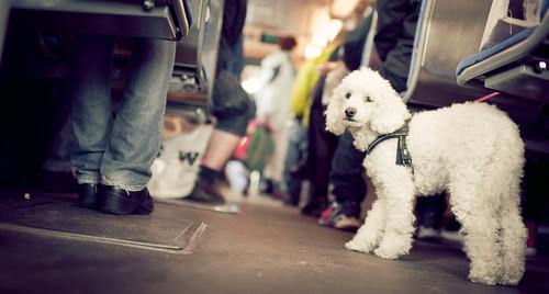 September 14 - Dog on Tram