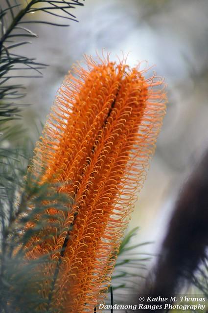 254-365 Golden coloured Banksia