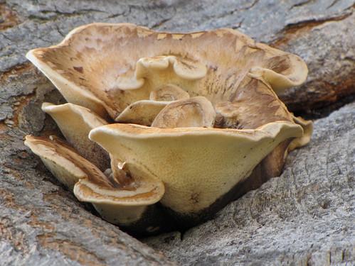 Трутови́к чешу́йчатый — гриб-трутовик, базидиомицет семейства Полипоровые. Обычно не рассматривается как съедобный, подробнее см. в разделе «Применение». Википедия Photo by Kari Pihlaviita on Flickr Автор фото: Kari Pihlaviita