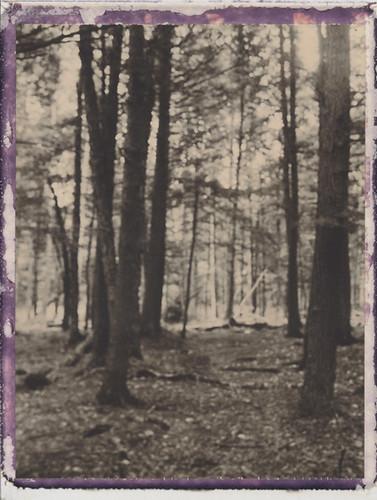 landscape polaroid woods bokeh maine birch unfocused tress cholcolate 250landcamera