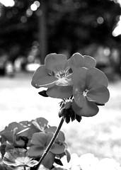 Gravesite flower