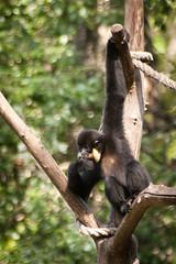 chimpanzee(0.0), ape(0.0), wildlife(0.0), gibbon(1.0), animal(1.0), branch(1.0), monkey(1.0), zoo(1.0), mammal(1.0), fauna(1.0), spider monkey(1.0), old world monkey(1.0), new world monkey(1.0),