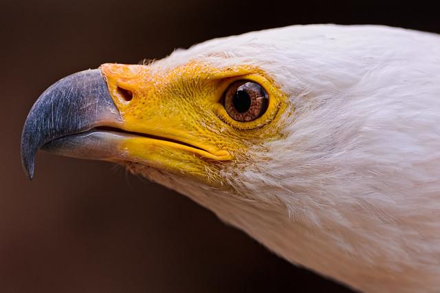 Bald Eagle Beak And Eyes Flickr Photo Sharing