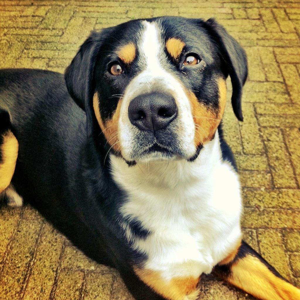 Entlebucher Mountain Dog - a photo on Flickriver