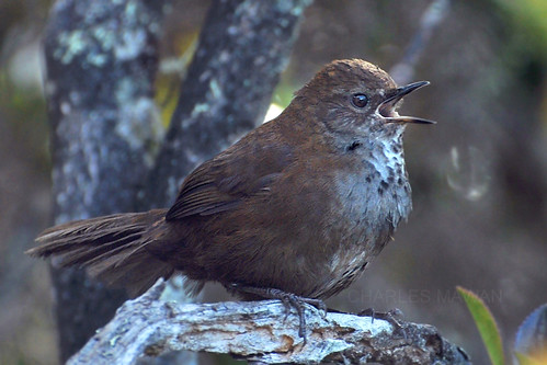 Mount Kinabalu friendly warbler