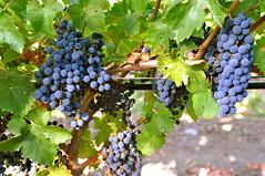 sultana(0.0), zante currant(0.0), shrub(1.0), berry(1.0), plant(1.0), grape(1.0), produce(1.0), fruit(1.0), food(1.0), vineyard(1.0),