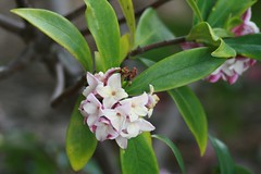 Fragrant or Winter Daphne