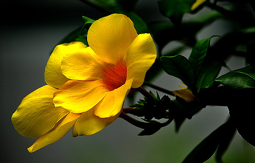 DSC_0026_Common Allamanda