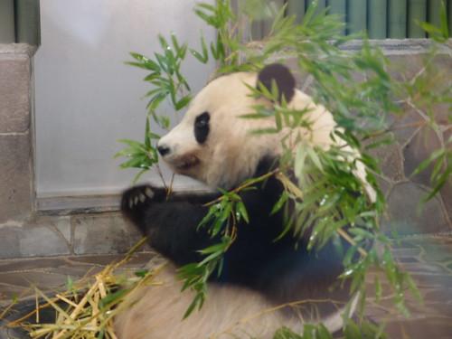 ジャイアントパンダ/Giant Panda