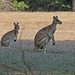 Kangaroos, Wallabies, and Allies - Photo (c) Jerry Oldenettel, some rights reserved (CC BY-NC-SA)
