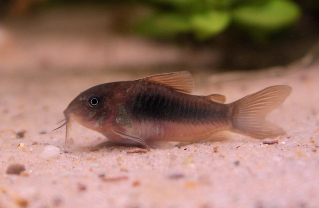 Bronze corydoras ( corydoras aeneus ) Catfish Macro Flickr - Photo ...