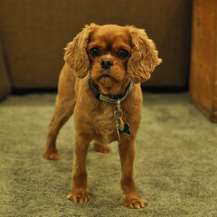 dog breed, animal, puppy, dog, pet, mammal, king charles spaniel, spaniel,