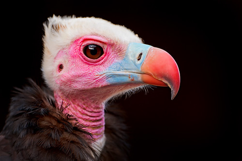 Portrait of a colorful vulture