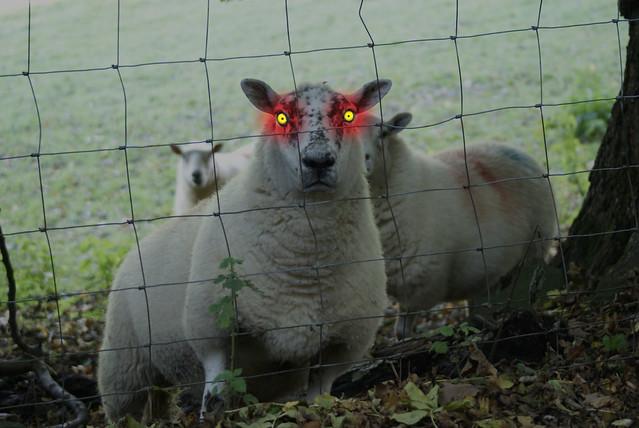 Evil sheep - photo#2