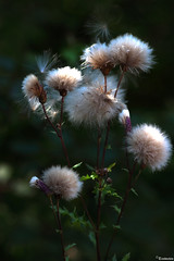 Fluffy heads (Thistle seeds)