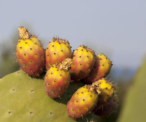 Fico d'India - Opuntia ficus-indica