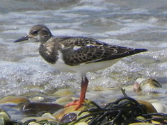 duck(0.0), snipe(0.0), animal(1.0), water bird(1.0), fauna(1.0), redshank(1.0), calidrid(1.0), sandpiper(1.0), beak(1.0), bird(1.0), wildlife(1.0),