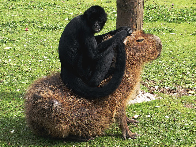 Spider Monkey & Capybara