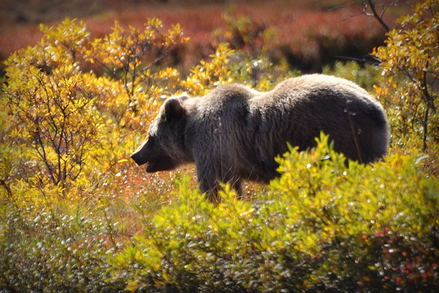 Grizzly Bear - Animal - Wildlife - Alaska