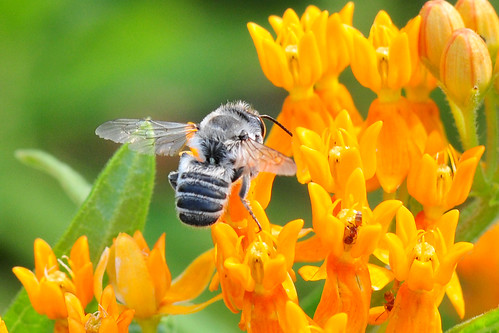 Male Megachile Bee on Butterfly Milkweed