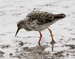 animal, charadriiformes, fauna, red backed sandpiper, redshank, calidrid, sandpiper, snipe, beak, bird, seabird, wildlife,