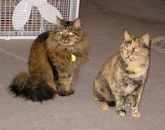 maine coon(0.0), tabby cat(0.0), toyger(0.0), pixie-bob(0.0), wild cat(0.0), manx(0.0), domestic long-haired cat(1.0), animal(1.0), small to medium-sized cats(1.0), pet(1.0), european shorthair(1.0), fauna(1.0), cat(1.0), carnivoran(1.0), whiskers(1.0), norwegian forest cat(1.0), domestic short-haired cat(1.0),