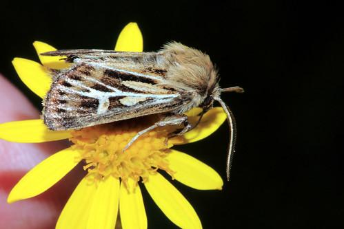 2176 Antler Moth 1522