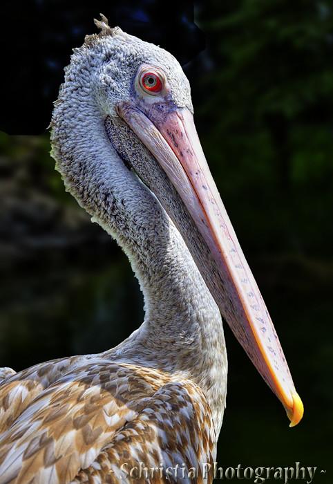 Pelican (DSC_0081)