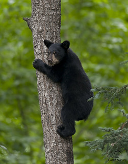 Black Bear Cub Descending Tree