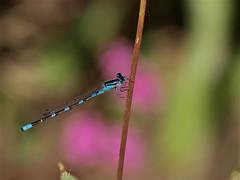 Damselfly & Dragonfly