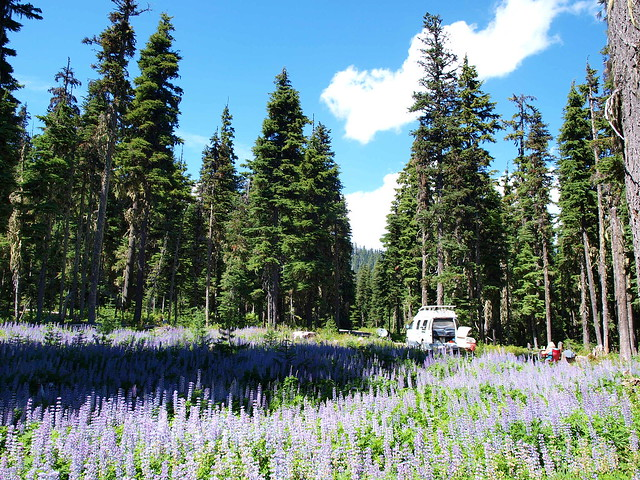 lupine meadows, mount hood