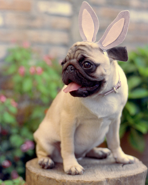 Easter Pug Pictures 27