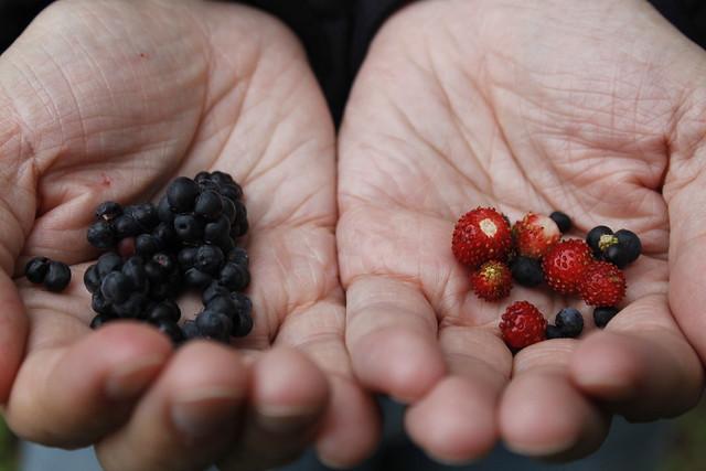 frutos rojos en suecia - gotland