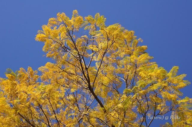Yellow Jacaranda Flickr Photo Sharing