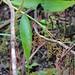 Joinvillea ascendens subsp. ascendens