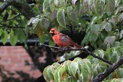 animal, branch, nature, fauna, cardinal, beak, bird,