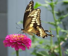 GiantSwallowtail2