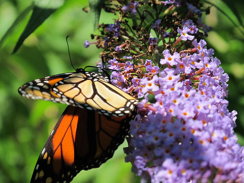 Monarch on Butterfly Bush...