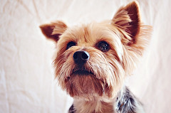 puppy(0.0), norfolk terrier(0.0), dog breed(1.0), animal(1.0), dog(1.0), pet(1.0), australian silky terrier(1.0), mammal(1.0), morkie(1.0), cairn terrier(1.0), close-up(1.0), yorkshire terrier(1.0), terrier(1.0),